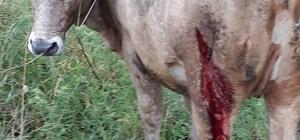 Arazide otlayan büyükbaş hayvanlara ayı saldırdı