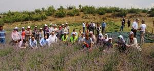 Mis kokulu lavanta hasadı Örnek lavanta tarlasında ikinci hasat gerçekleştirildi İlk hasattan 20 kilogram lavanta yağı üretildi