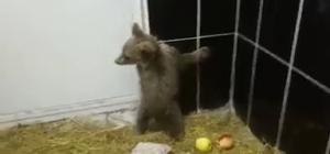 Kars'ta tedavi edilen yavru ayılar sağlığına kavuştu