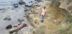 Tekirdağ'da ölü yunus sahile vurdu