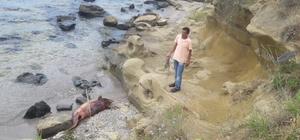 Sahile bir ölü yunus daha vurdu