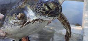 Hayata tek yüzgeçle devam edecek Yaralı yeşil deniz kaplumbağası Hatay MKÜ Veterinerlik Fakültesi'nde tedavi altına alındı