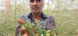 Antalya'da domates fiyatları yüzde 400 arttı Antalya'da 'tuta' domates fiyatlarına tavan yaptırdı