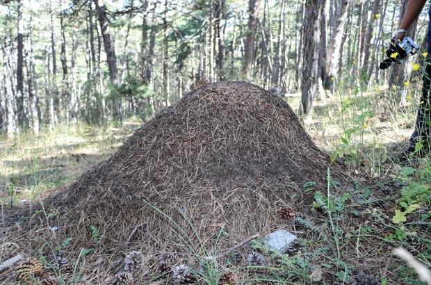 Yozgat'ta dev karınca yuvaları dikkat çekti