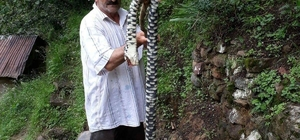 """Hopa Engereği denilen yılan su yılanı çıktı KTÜ Yaban Hayatı Ekolojisi Bölümü Öğretim Üyesi Prof. Dr. Şağdan Başkaya: """"Trabzon'un Köprübaşı ilçesinde görülen ve Hopa Engereği denilen yılan su yılanı; İnsanlara zarar vermez"""" """"Hopa Engereğinin boyu 70 cm kadardır; Bahse konu boyda bir engerek yılanı bizim bölgemizde olmaz"""""""