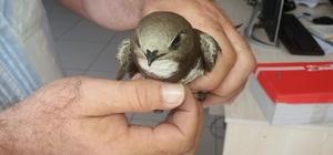 Kanadı kırık ebabil kuşu tedavi altına alındı
