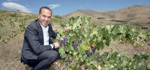 Saimbeyli ve Pozantı yeniden üzüm diyarı oluyor Adana Büyükşehir Belediyesi, yöreye özgü Mücennes, Cıngıllı Kara ve Pozantı Karası cinsi üzümlerde verimliliği arttırmak amacıyla aşılı asma fidanı desteği sundu