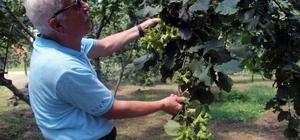 Fındık üreticisine hasat uyarısı Giresun Keşap Fındık Üreticileri Birliği Başkanı Mustafa Şahin fındık hasadı öncesi üreticilere uyarılarda bulundu