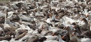 Kars'ta kaz ölümleri yeniden başladı Bir çiftlikte bin 500 kaz telef oldu