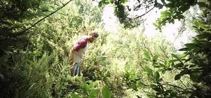 Sakarya'da 117 kök kenevir bitkisi ele geçirildi