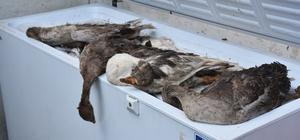 Kars'ta kazların hastalık nedeniyle öldüğü iddiası