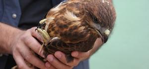 Düzce'de ormanda bulunan yaralı kartal tedavi altına alındı