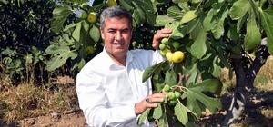 Taze incirin başkentinde hasat erken başladı