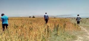 Tatvan'da NASA'nın gözde ürünü Kinoa bitkisinden olumlu sonuç bekleniyor