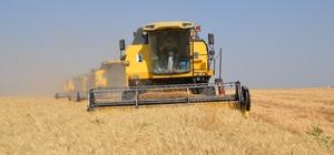 Muş'ta buğday hasadı erken başladı