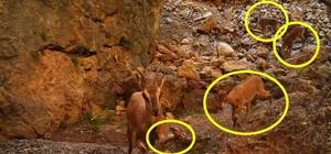 """Yaban keçisi kırık ayağına rağmen yavrusunu bırakmadan yoluna devam etti Sivas dağlarında sol ön ayağı dizinin altından kırılan yaban keçisi, ağrılarına rağmen yavrusunu bırakmadan yoluna devam etti KTÜ Yaban Hayatı Ekolojisi ve Yönetimi Bölümü Öğretim Üyesi Prof. Dr. Şağdan Başkaya: """"Yaban keçilerinin bu şekilde yaralanmalarının başlıca sebepleri arasında kurt, vaşak, karakulak, ayı, çakal, pars ve kaya kartalı gibi yırtıcılar gelmektedir"""""""