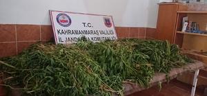 Fasulye ve patatesler arasına ekilmiş 5 bin 13 kök kenevir ele geçirildi
