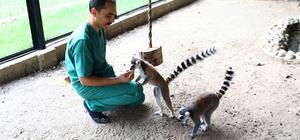 Hayvan parkındaki lemurlar ilgi odağı oldu