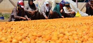 Kayısı, kadınlar için iş kapısı oldu Toplanan kayısıları seren kadınlar 2-3 gün güneşte kalmasının ardından çekirdeklerini tek tek çıkartarak kurutmaya bırakıyor