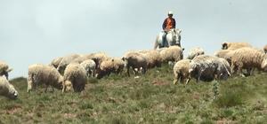 Çobanın umudu 'Kurban Bayramı' Giresun'un Şebinkarahisar ilçesinden yaz aylarında koyunlarını otlatmak amacıyla yaylaya giden çoban Serhan Yakup'un umudu Kurban Bayramı