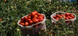 """Hastalığın vurduğu domateste bu yıl fiyatlar yükseldi Manisalı çiftçiler domates fiyatlarından memnun Manisa'nın merkez ilçelerinde domates hasadı başladı Ziraat Odası Başkanı Hüseyin Altındağ: """"Yağışlardan dolayı ve bir virüs hastalığından dolayı bu fiyatların daha da yukarıya gideceğini umut ediyoruz"""""""
