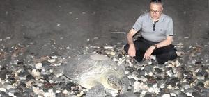 Deniz kaplumbağaları Mersin sahillerine yumurta bırakmaya devam ediyor