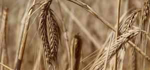 Türkiye'nin buğday ambarında hasat başladı Türkiye'de buğday üretiminde dördüncü sırada yer alan Sivas'ta, buğday hasadı başladı