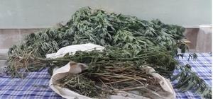 Zehir tacirleri yetiştirdikleri kenevirleri sularken yakalandı Jandarmadan uyuşturucu operasyonu: 13 gözaltı, 6 tutuklama