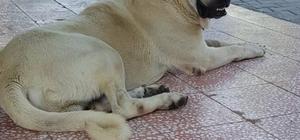 """Bu köpeği bulana Antalya'da bir hafta tatil Bir şirketin Pazarlama Müdürü İlhan İlbey, 10 gündür kayıp olan Kangal cinsi 'Alemdar' isimli köpeğini bulana Antalya'da bir hafta tatil, isterse köpeklerin yavrusundan ikisini ya da 5 bin lira para ödülü vereceğini söyledi İlbey: """"O köpek benim çocuğum gibiydi 10 gündür arıyorum ama bulamadım"""""""
