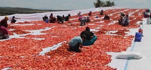 Manisa'nın kurutulmuş domatesleri dünya pazarında Manisa'da domatesler sergilenerek kurutuluyor