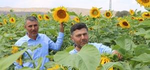 Çin Türkiye'yi çekirdek ile vurdu Çin'den ithal edilen ucuz çekirdek Türkiye'deki ay çiçeği üretiminde önemli oranda düşüşe neden oldu