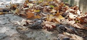 Yağmur ve fırtınanın yuvalarından düşürdüğü binlerce serçe yavrusu telef oldu Sabah yürüyüşe çıkanlar yaprak zannetti, yürüyüş yolu ölü serçe yavrusu ile doldu
