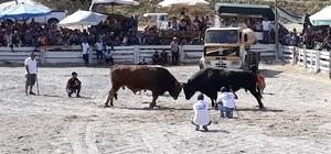 Boğalar dostluk için güreşti Germencik 4. Boğa güreşi festivali yapıldı