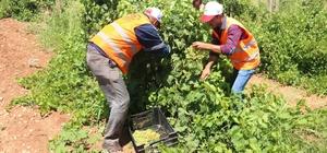 Belediyenin yetiştirdiği üzümler yoksulların sofrasına gidiyor