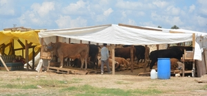 Dilovası hayvan pazarı Kurban Bayramına hazır