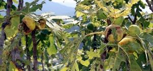 İncir üreticisini yaz yağmurları vurdu Aydın Karadeniz Bölgesi'ne döndü, incir üreticisi perişan oldu