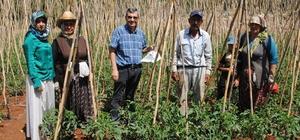 Domates güvesi ve Akdeniz meyve sineğine karşı mücadele