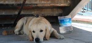 Sahibini bekleyen köpek merdiven altından ayrılmıyor Golden cinsi köpek tüm çabalara rağmen sığındığı merdiven altından çıkmadı