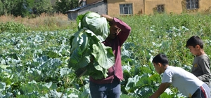 Muş'ta lahana hasadı 1,5 ay erken başladı