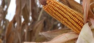 """Türkiye'nin mısır üretiminde 1. sırada yer alan Adana'da hasat başladı Adana'da mısır ekim alanı 100 bin dekar azaldı Tarım ve Orman Müdürü Tekin: """"Adana'da 1 milyon 500 bin ton rekolte bekliyoruz"""""""