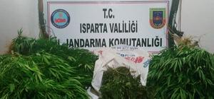 Yalvaç'ta yasa dışı kenevir yetiştiriciliğine jandarma baskını: 1 gözaltı