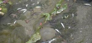 Niksar'da balık ölümleri vatandaşları korkuttu