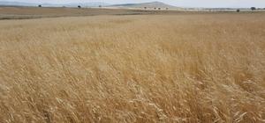 3 bin yıllık siyez buğdayının hasadı yapıldı