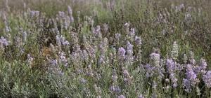 """Bolu'da 20 dönümlük alana 'Tıbbi Aromatik Bitkiler' bahçesi Bolu Belediye Başkanı Yılmaz: """"Bitkilerin yağları çıkarılarak, hangi dermana iyi geldiği konusunda çalışılacak"""""""