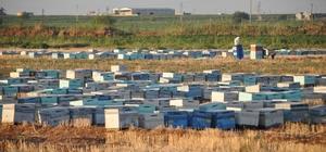 Şanlıurfa'da arı ölümleri