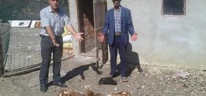 Tekirdağ'da aç kalan köpekler, tavuk hindileri telef etti