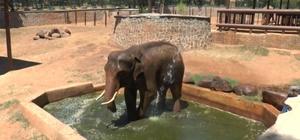 (Özel Haber) Sıcaktan etkilenen 5 tonluk filler tazyikli suyla serinletiliyor