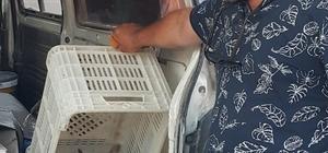 Yaralı puhu kuşunu tedavi ettirmek için 150 kilometre taşıdı