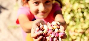 Mersin'de Antepfıstığı hasadı yüzleri güldürüyor Mersin Büyükşehir Belediyesi destekleriyle hayata geçirilen 'Antepfıstığı Tomurcuğunu Mersin'de Yeniliyor Projesi' kapsamında üretimi yapılan Antep fıstığında verimlik ve kalite arttı