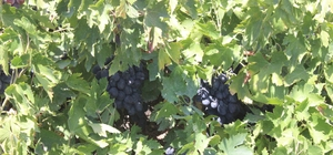 Kilis Karası üzümler kurutulmaya başlandı Kilis Karası olarak bilenen Horoz Karası cinsi üzümün hasadı sürerken, üzümler serilerek kurutulmaya başlandı